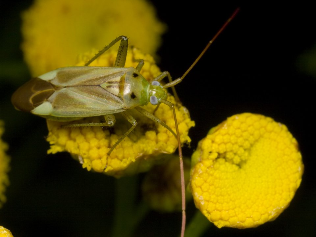 Adelphocoris-lineolatus-1143.jpg