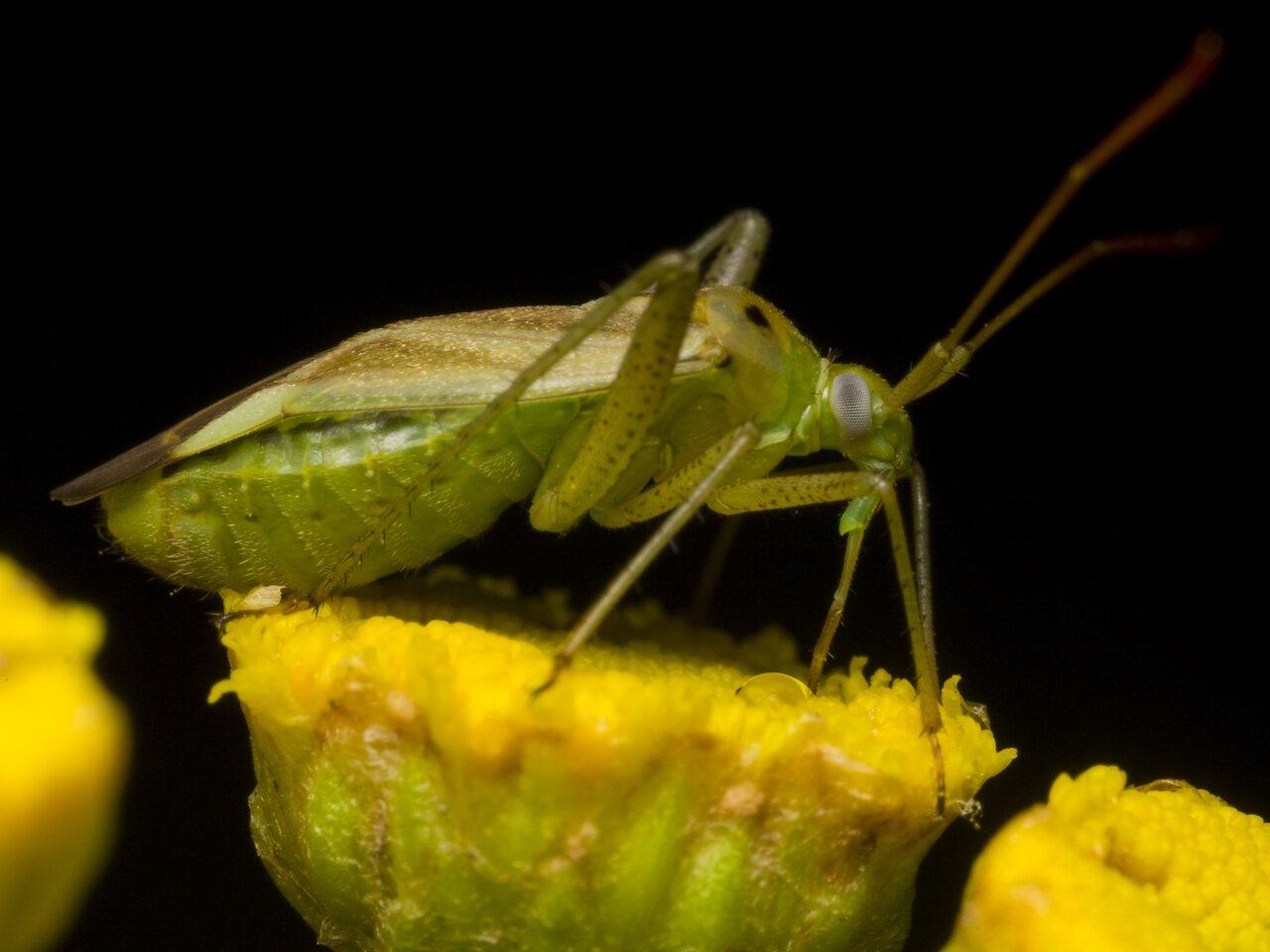 Adelphocoris-lineolatus-1144.jpg