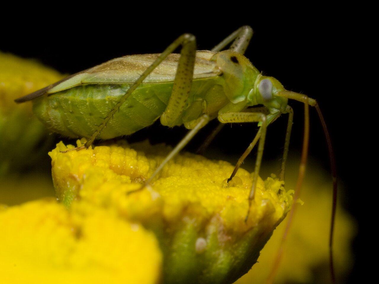 Adelphocoris-lineolatus-1146.jpg