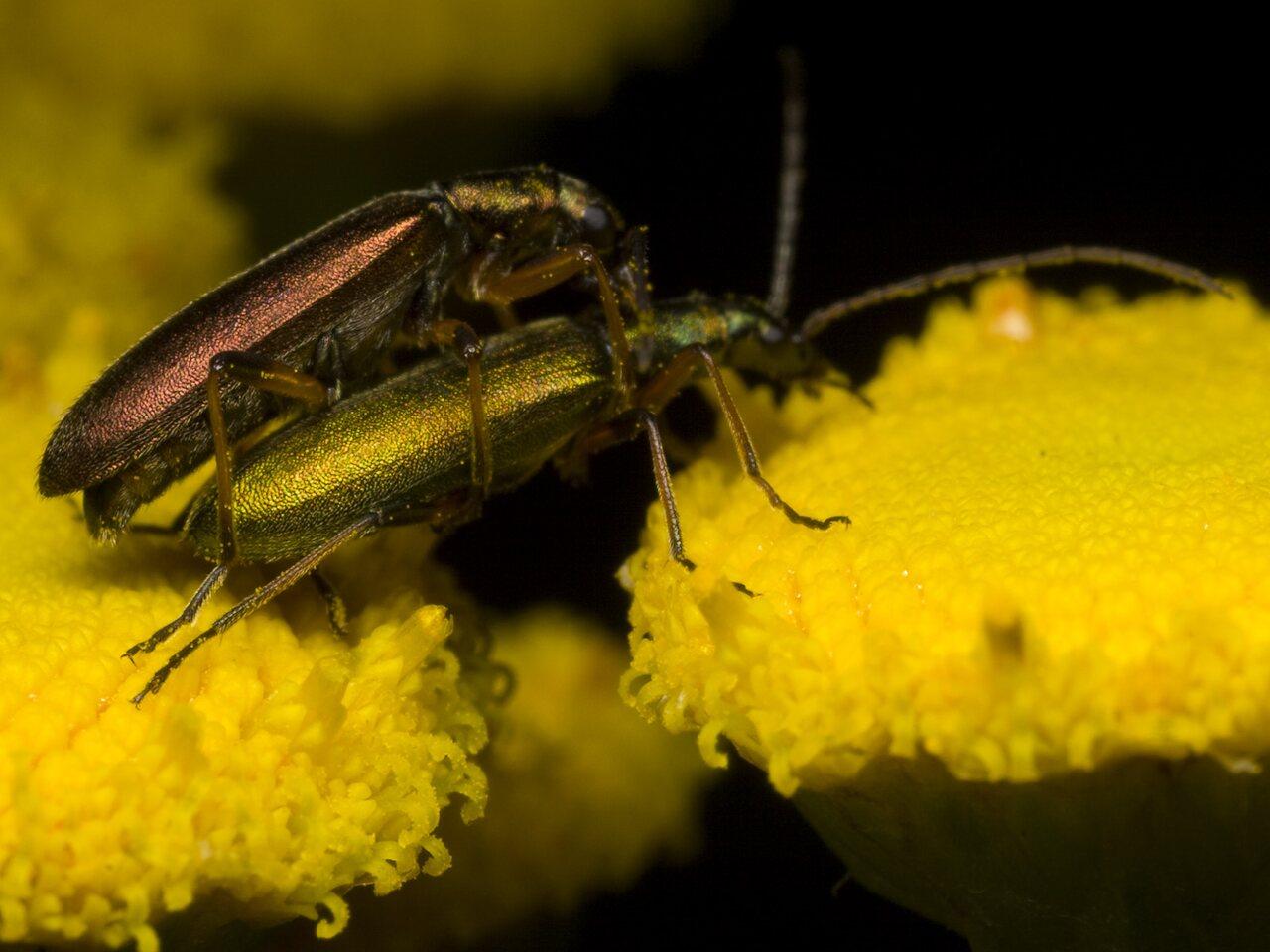 Chrysanthia-nigricornis-1148.jpg