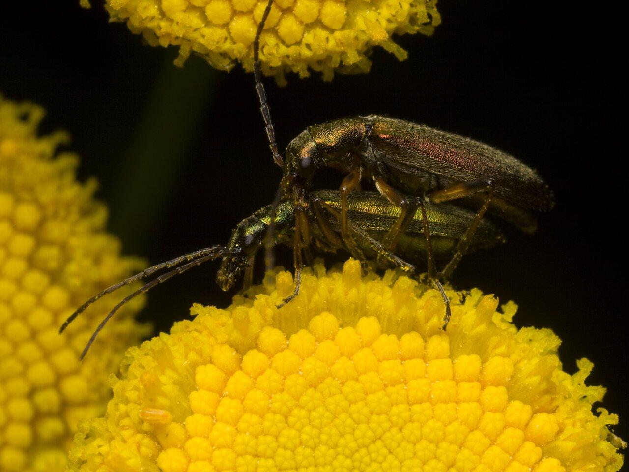 Chrysanthia-nigricornis-1149.jpg