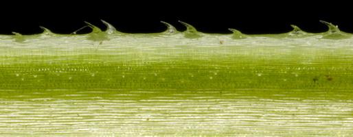 Galium aparine · kibusis lipikas