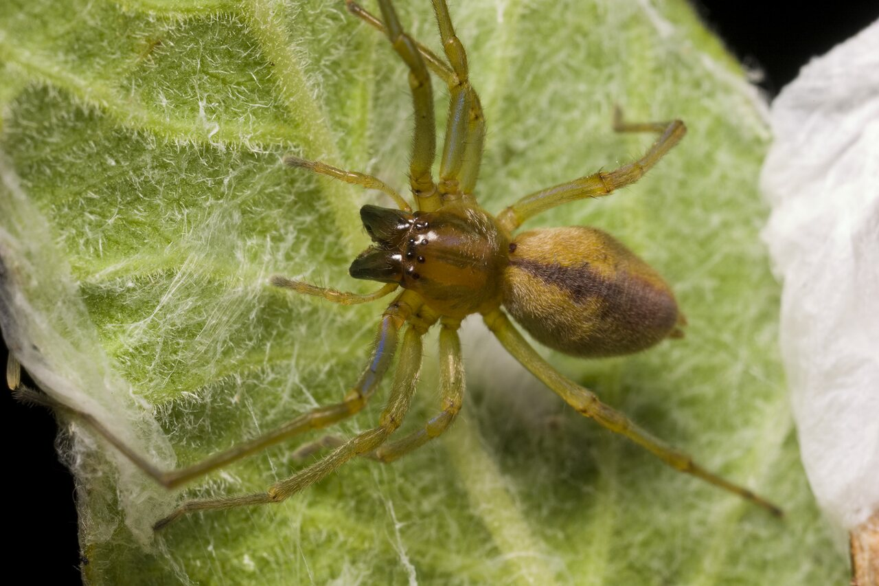 Cheiracanthium-erraticum-1173.jpg