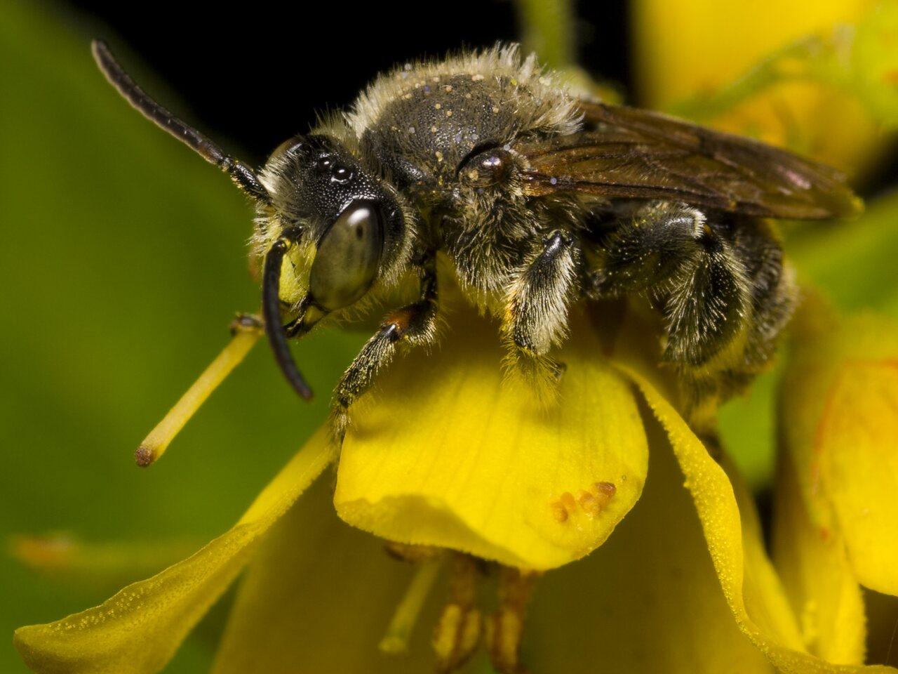 Apidae-1180.jpg
