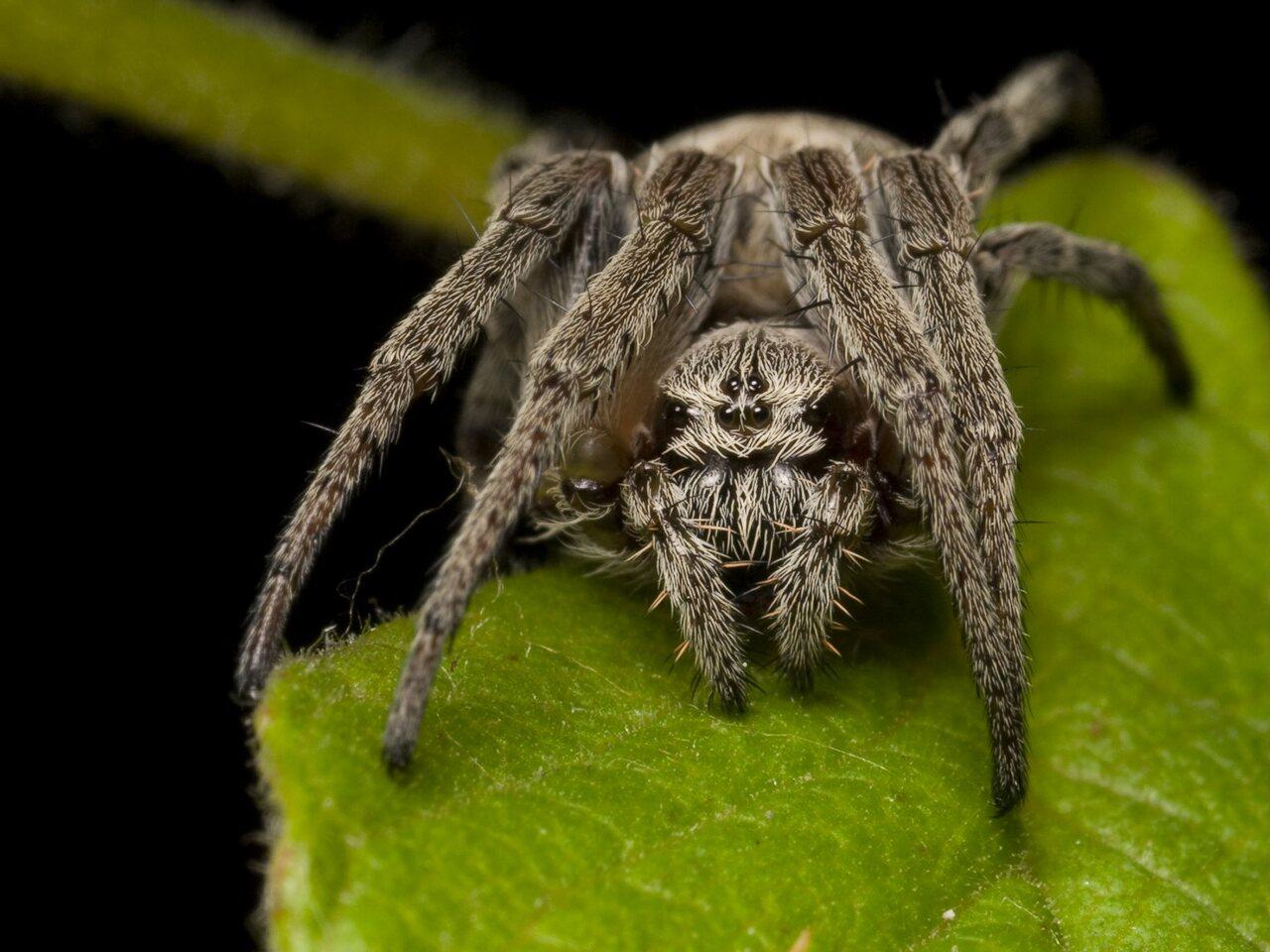Larinioides-cornutus-1190.jpg