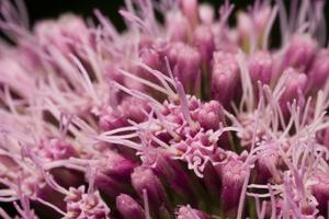 Eupatorium cannabinum · kanapinis kemeras