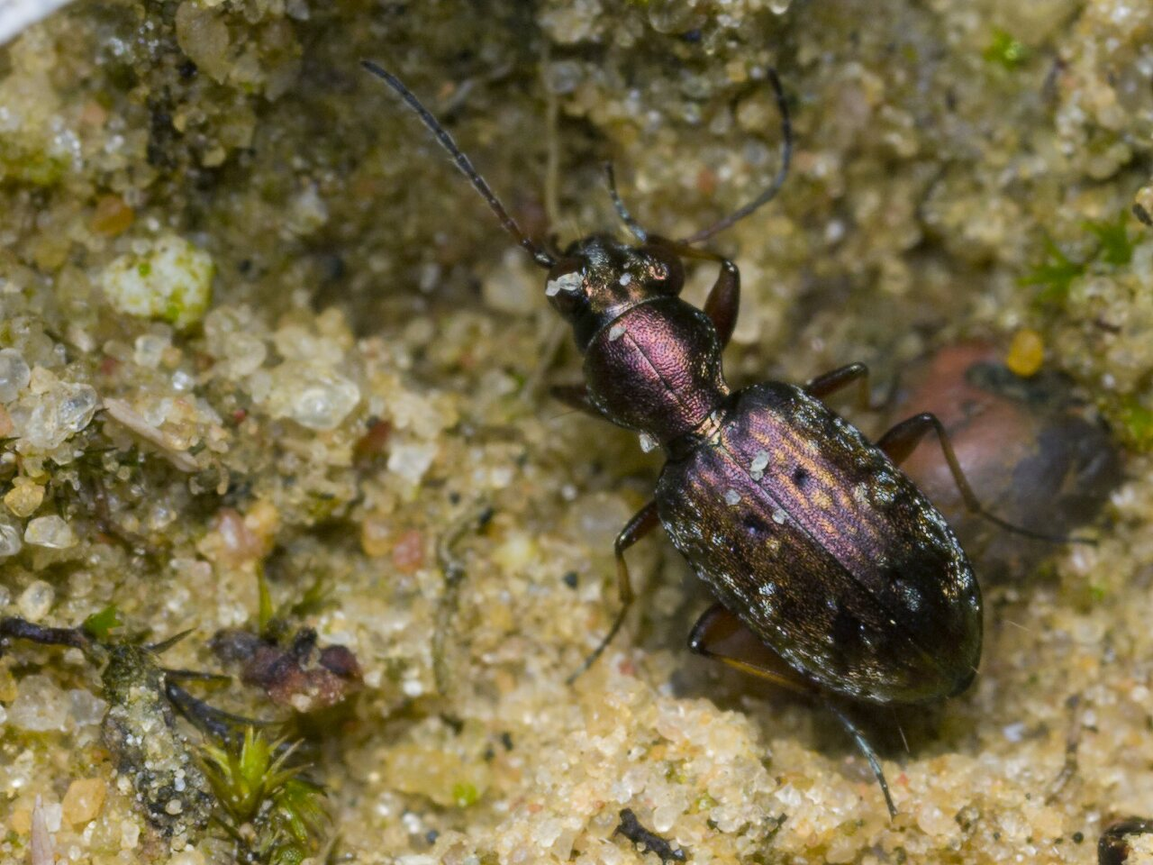 Asaphidion-pallipes-1225.jpg