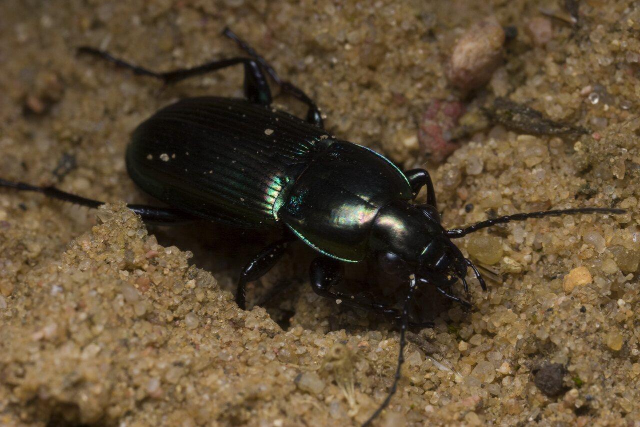 Poecilus-lepidus-1235.jpg