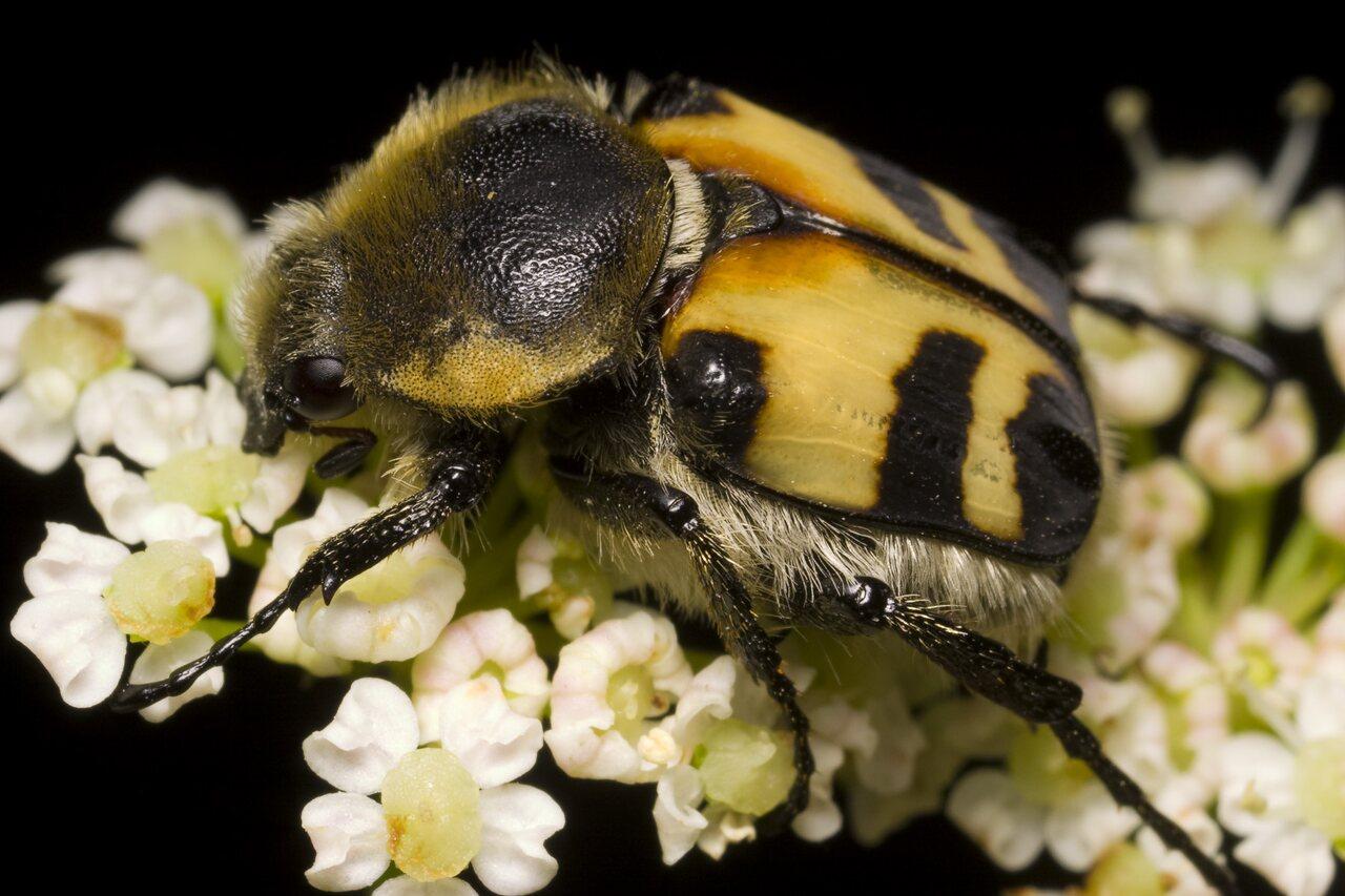 Trichius-fasciatus-1236.jpg