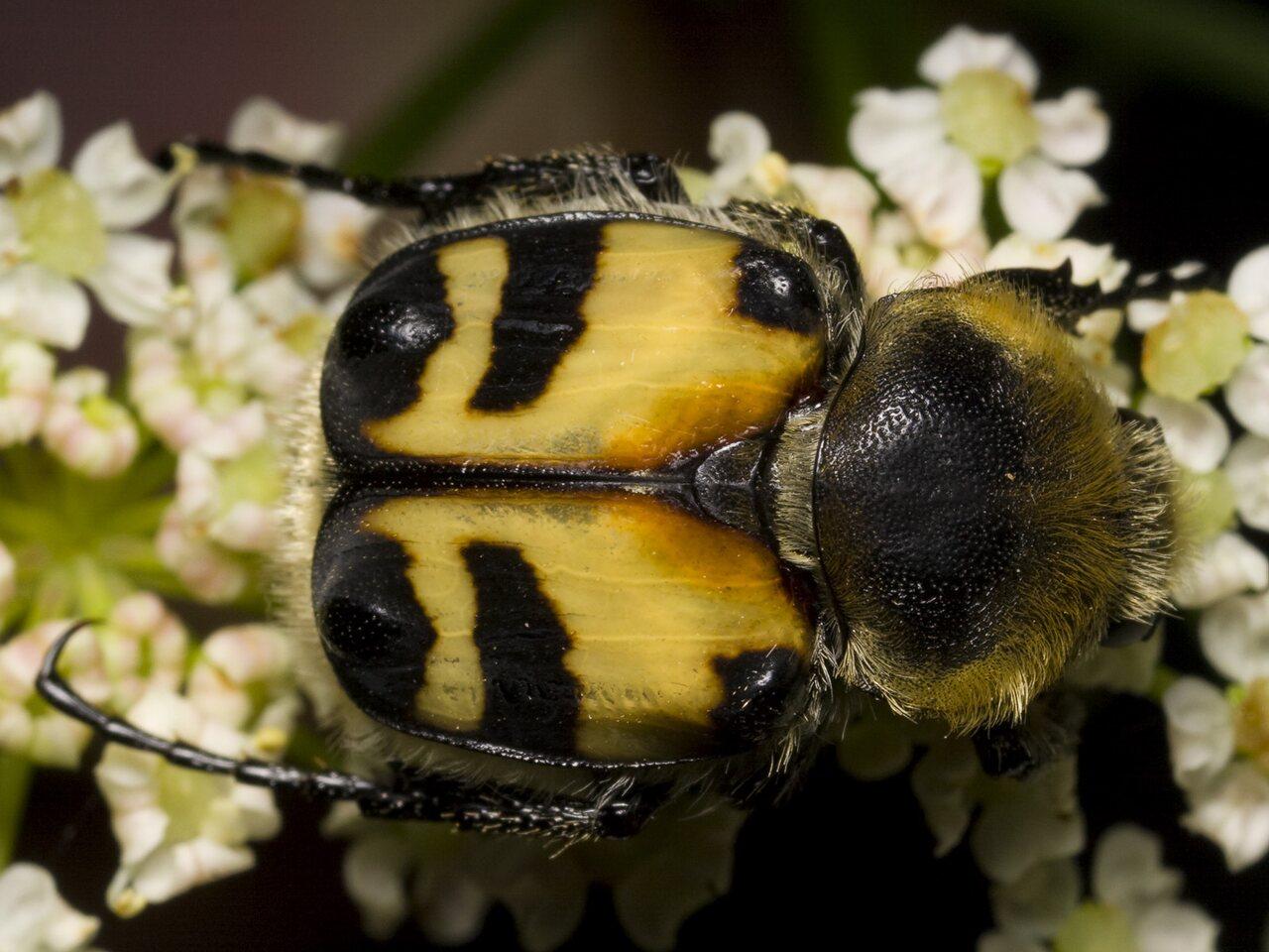 Trichius-fasciatus-1237.jpg