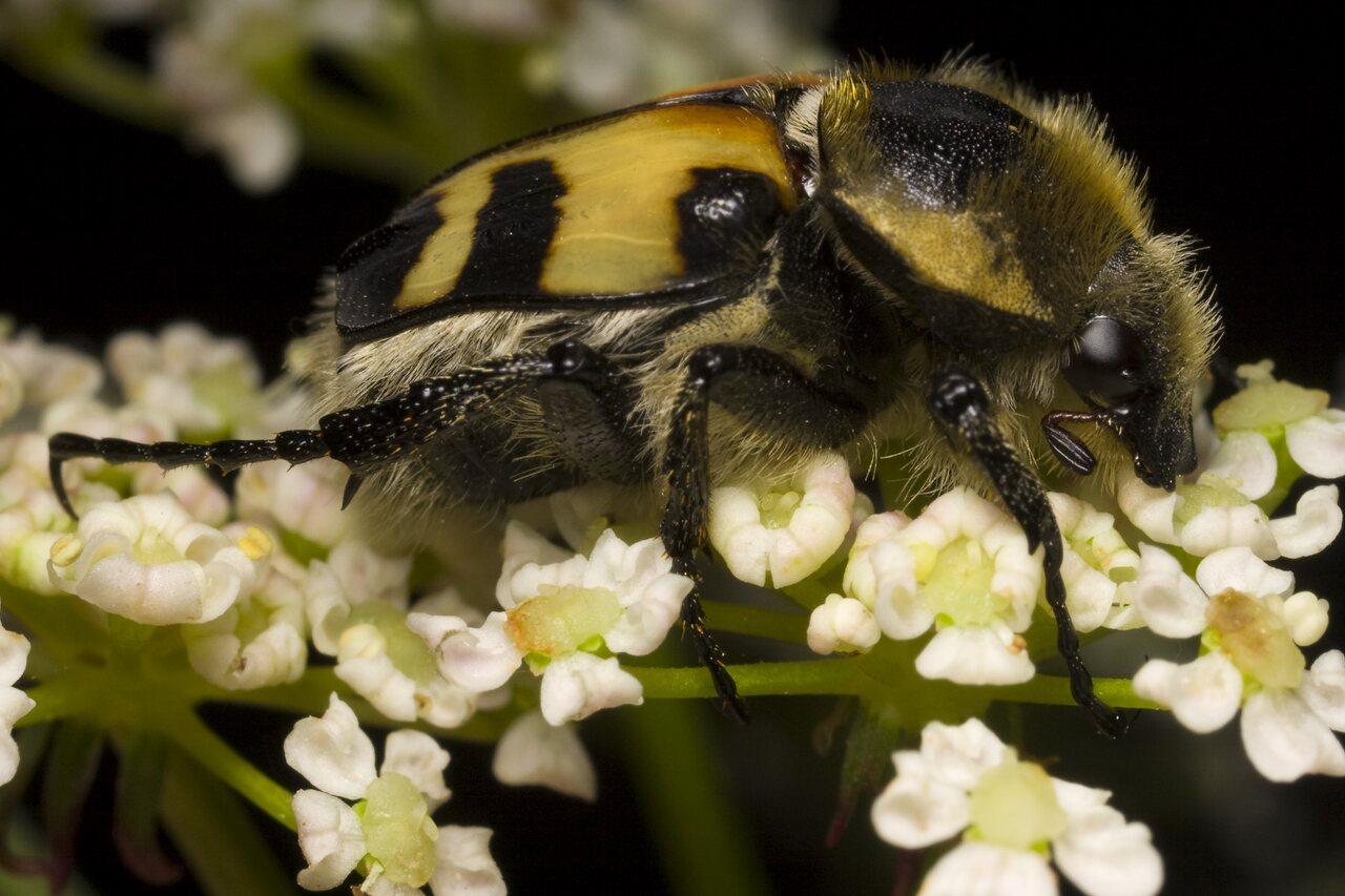 Trichius-fasciatus-1238.jpg