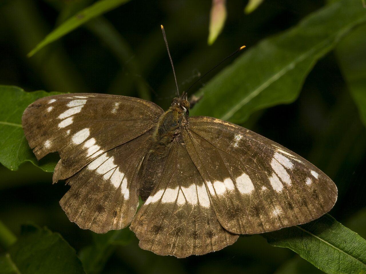 Limenitis-camilla-1285.jpg