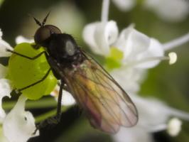 Diptera 1287