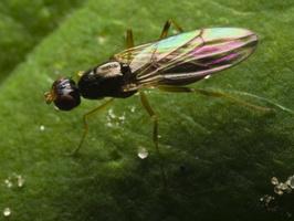 Diptera 1289