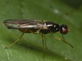 Diptera 1290