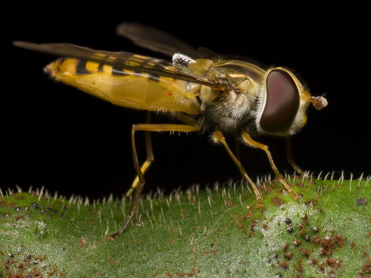 Episyrphus-balteatus-1292.jpg