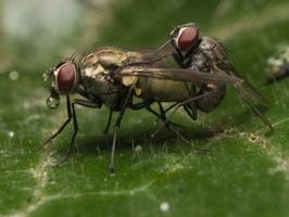 Muscidae copula · tikramusė poruojasi
