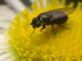 Diptera 1312