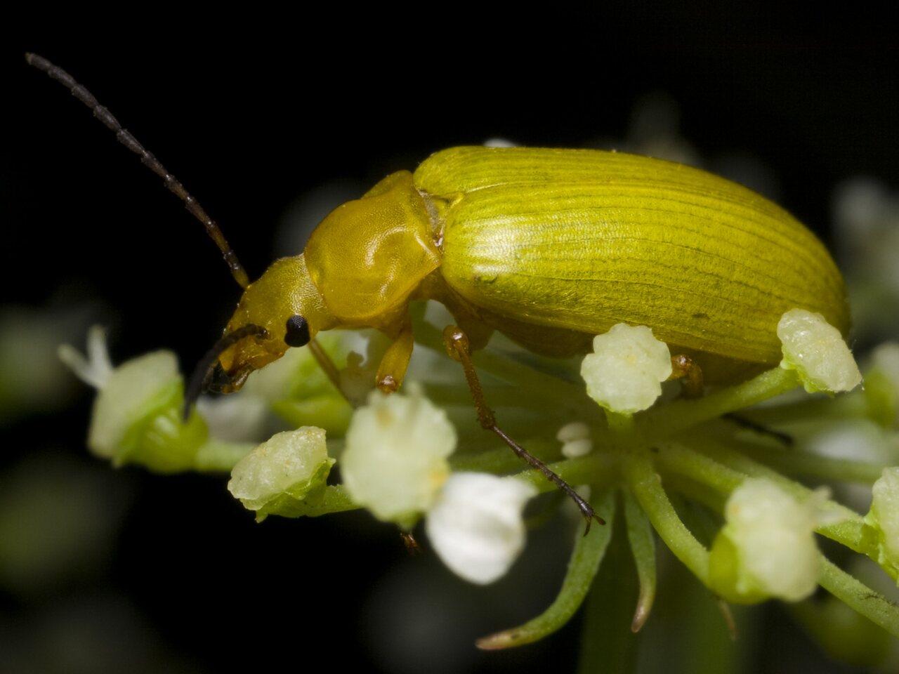 Cteniopus-flavus-1318.jpg