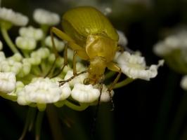 Cteniopus flavus · geltonasis dulkiagraužis