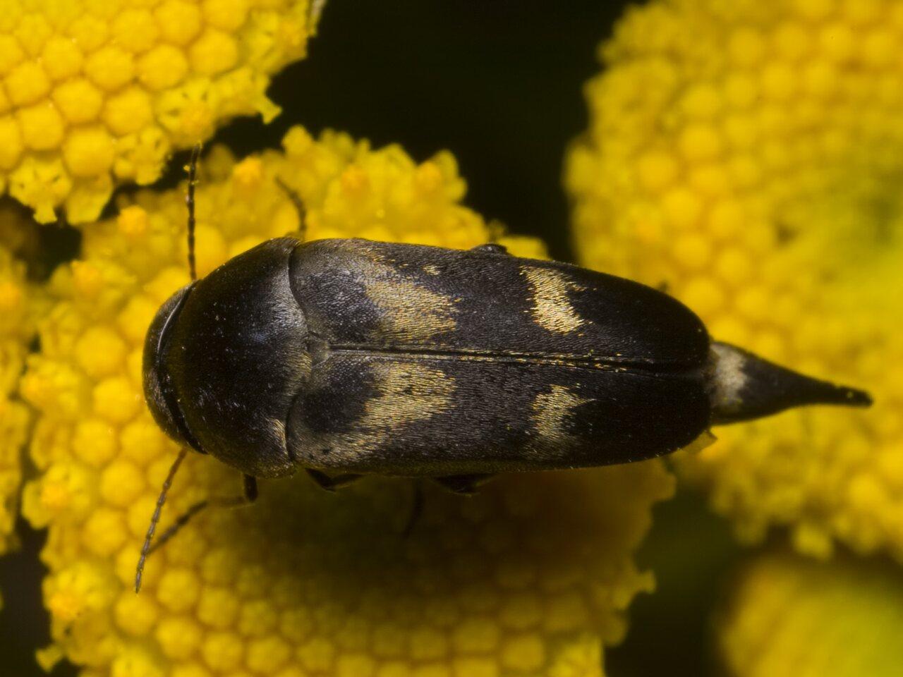 Variimorda-villosa-1335.jpg