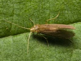 Lepidostoma hirtum · apsiuva
