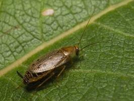 Ectobius lapponicus, female · laplandinis prūsokas ♀
