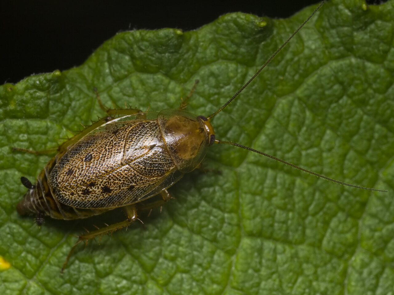 Ectobius-lapponicus-1346.jpg