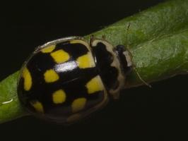 Propylea quatuordecimpunctata · juodasiūlė boružė