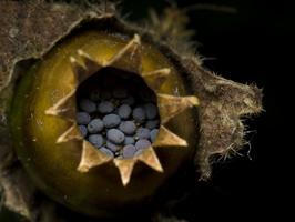 Silene latifolia seeds · baltasis šakinys, sėklos