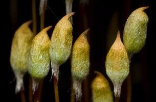 Bryophyte · samanos