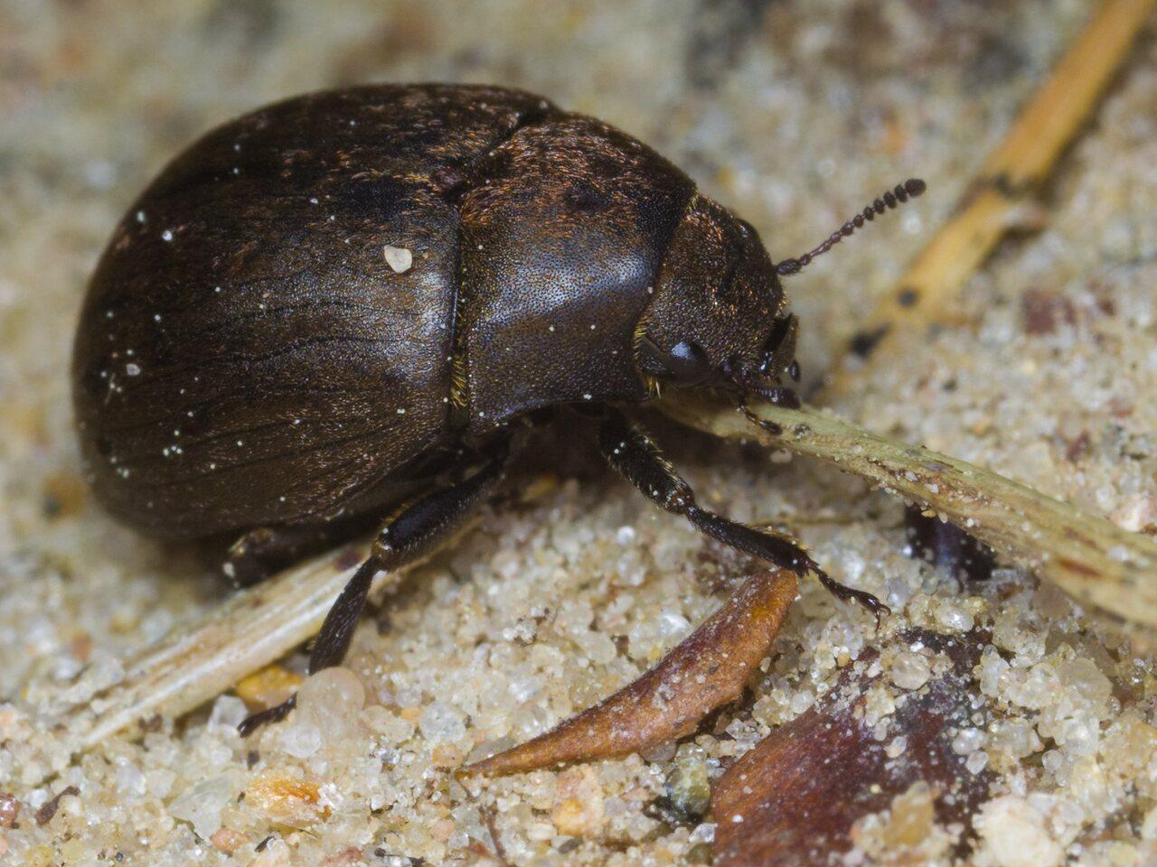 Byrrhidae-1416.jpg