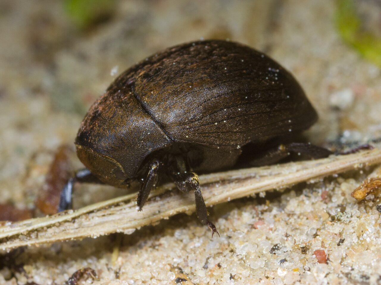 Byrrhidae-1419.jpg