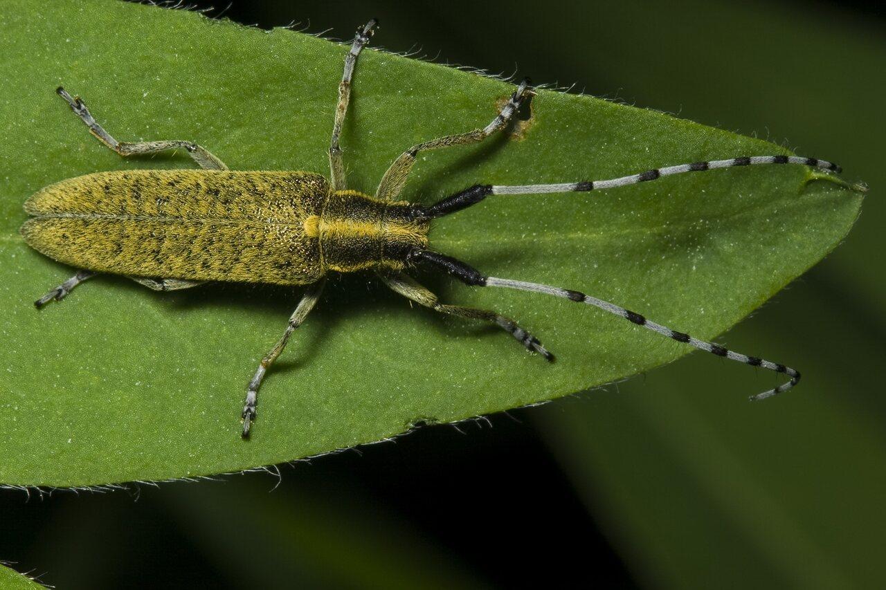 Agapanthia-villosoviridescens-1454.jpg