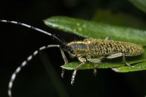 Agapanthia villosoviridescens · žalsvasis stagarinukas