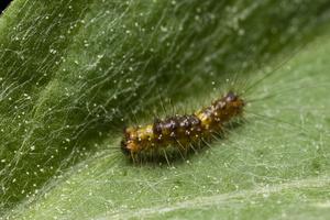 larva 1460