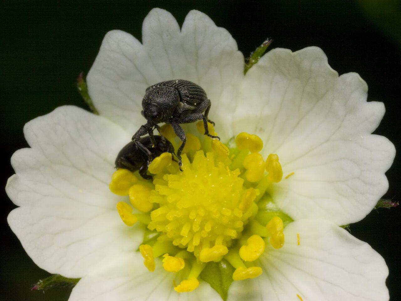 Curculionidae-1468.jpg