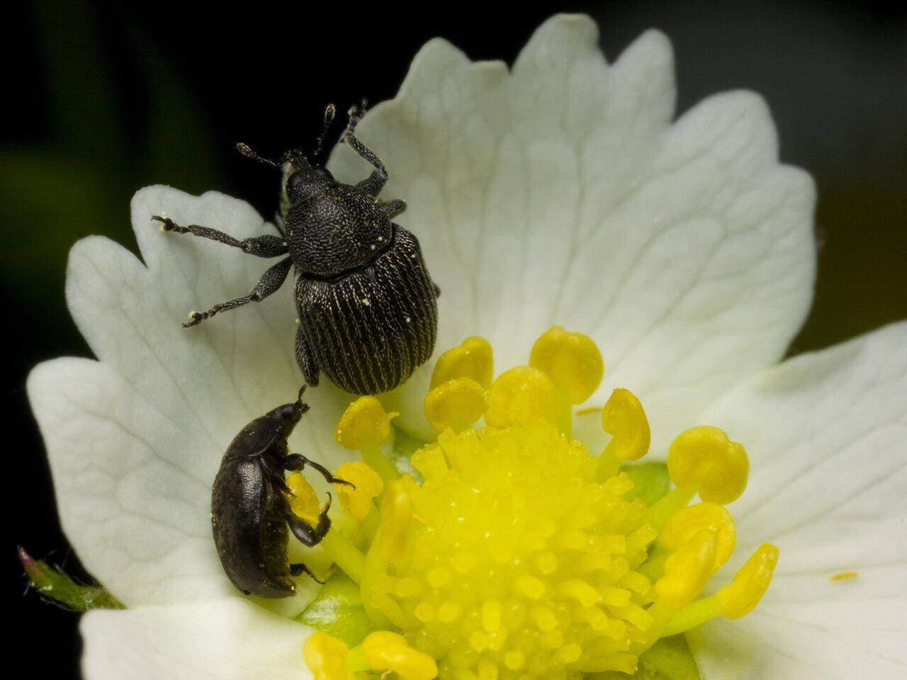 Curculionidae-1472.jpg
