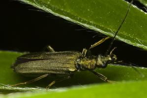 Oedemera virescens female · laibavabalis ♀