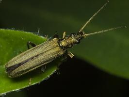 Oedemera sp. female · laibavabalis ♀