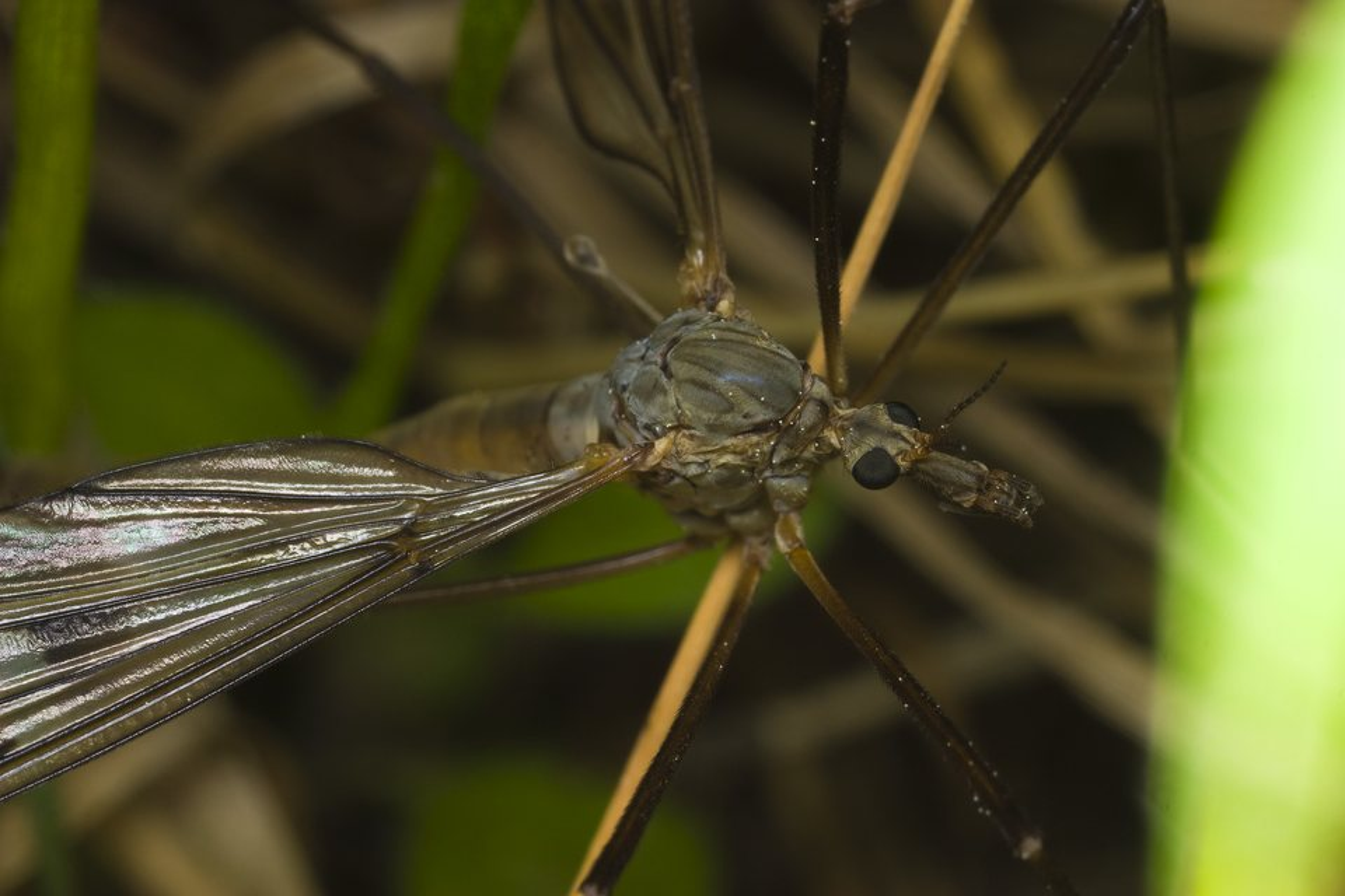 Tipulidae-1478.jpg
