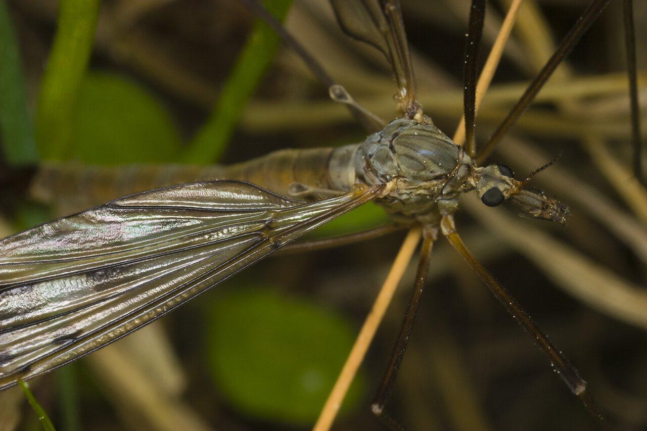 Tipulidae-1479.jpg