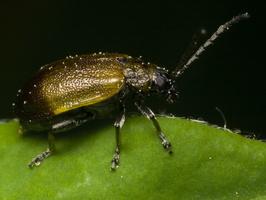 Lochmaea caprea · blindinis rusvys