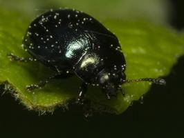 Plagiosterna aenea · žaliasis girinukas