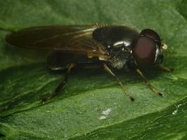 Syrphidae · žiedmusės 1507