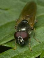 Syrphidae · žiedmusės 1509