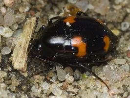 Scaphidiinae · valtvabaliai