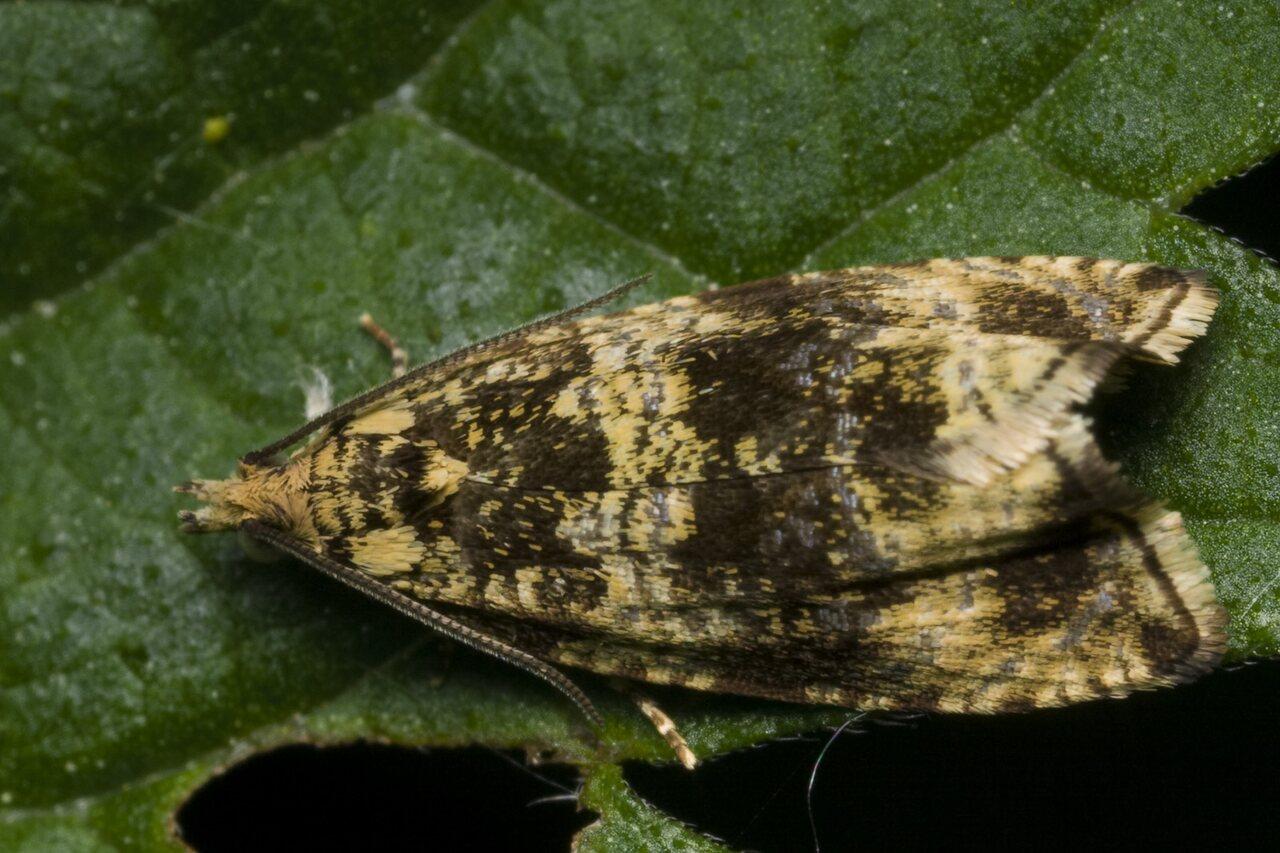 Celypha-lacunana-1547.jpg