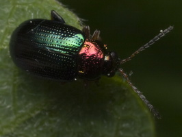Crepidodera aurata · auksiškoji spragė