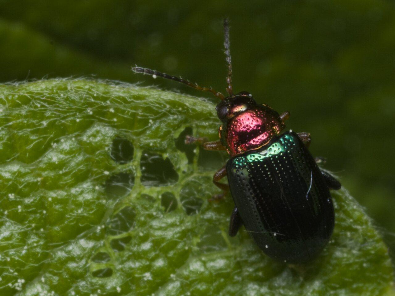 Crepidodera-aurata-1551.jpg